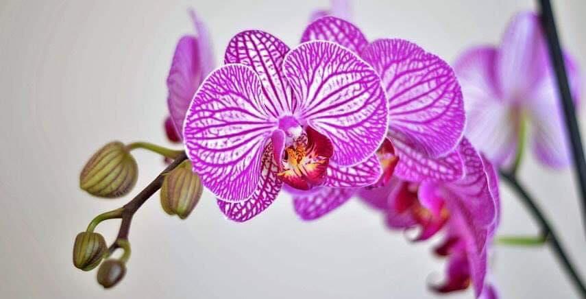 L'orchidea, il suo significato e le leggende più belle