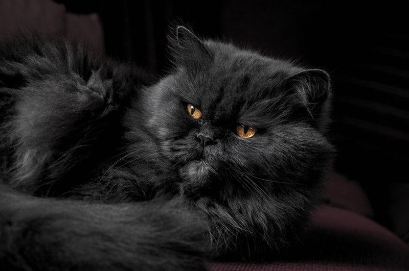 Gatto affascinante