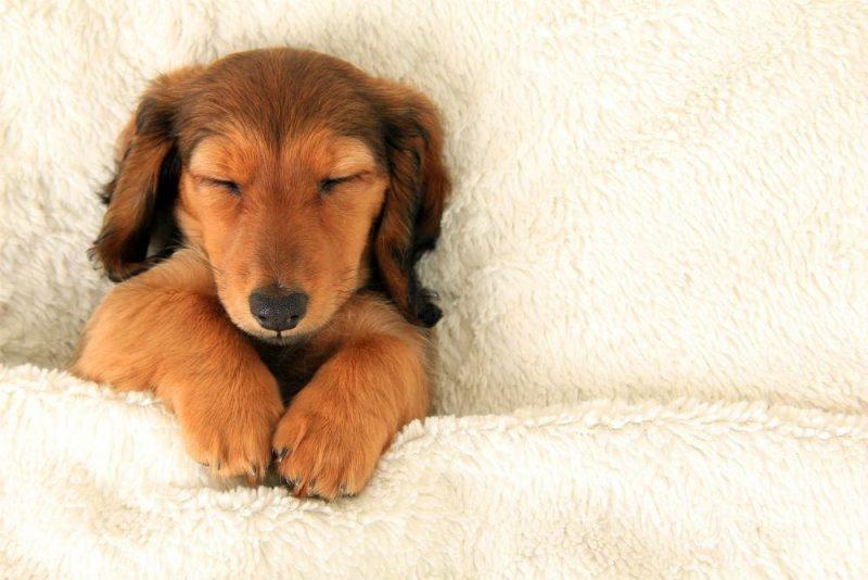 Photo of I cani quando dormono sognano. È il parere degli esperti che ci raccontano i loro sogni