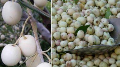 Photo of Dopo 3000 anni torna in Italia l'oliva bianca citata anche nella Bibbia